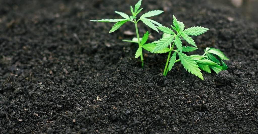 Cannabis plant shoots in a bed of soil