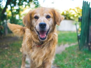 A happy looking golden retreiver peers into the camera